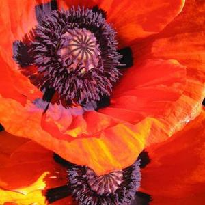 Wild About Poppies - 3 Images - Color - Any Style or Medium Art Competition